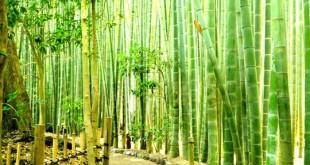 جنگلهای زیبای بامبو یکی از مناطق گردشگری مالزی