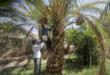 ممنوعیت صادرات خرما از ایران، بازار مالزی را پیش کش عربستان میکند