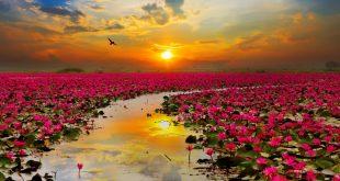 دریاچه نیلوفر قرمز تایلند میزبان صدها گردشگر از سراسر جهان