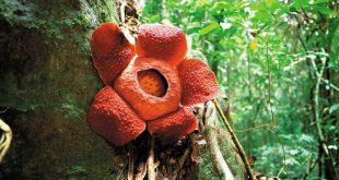 بزرگترین گل جهان در پارک ملی گونونگ گادینگ (Gunung Gading) مالزی