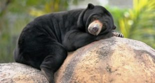 تفرجگاه خرس آفتاب مالزیایی