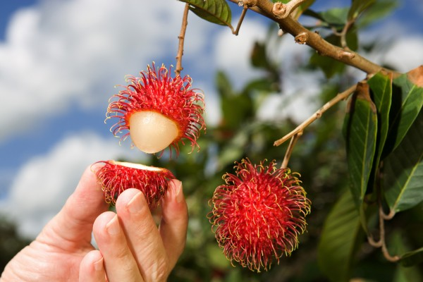 Rambutan_Fruit