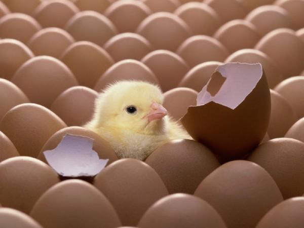 کاهش تولید مرغ